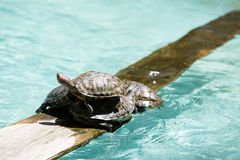 Turtles on Top of Each Other Royalty Free Stock Photos