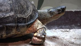 Turtles, Tortoises, Reptiles, Animals, Wildlife stock video footage