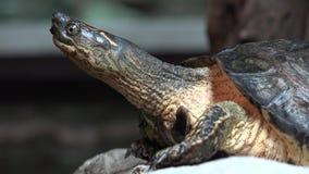Turtles, Tortoises, Reptiles, Animals, Wildlife. Stock video of a turtle stock footage