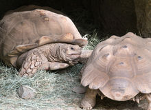 Turtles - Tortoises Royalty Free Stock Photography