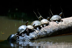Turtles at Tortuguero National Park. Turtles in line on a tree trunk at Tortuguero National Park stock photo