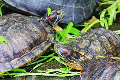 Turtles (Trachemys scripta elegans) Royalty Free Stock Photos