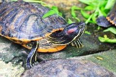 Turtles (Trachemys scripta elegans) Royalty Free Stock Images