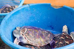Turtles on the treatment in coxae smeared/ stock photos