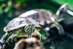 Turtles in the tree in the tropical forest of Vietnam. royalty free stock images