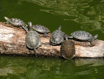Turtles on a trunk of tree. Several turtles on a trunk of tree in pond Stock Photo
