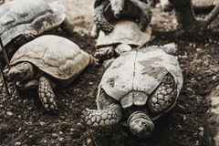Turtles turn over Royalty Free Stock Photography