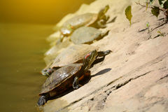 Turtles ,Turtles on riverbank,beautiful turtles. Royalty Free Stock Photography