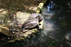 Turtles. Two turtles at the pond Royalty Free Stock Photo