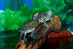 Turtles on vacation. Little Turtle, got out of the water to snag. They need to dry off and warm up Stock Photography