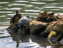 Turtles in villa Borghese gardens in Rome royalty free stock images