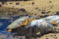 Turtles on volcanic beach Stock Image
