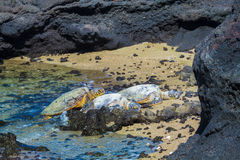 Turtles on volcanic beach Royalty Free Stock Photography