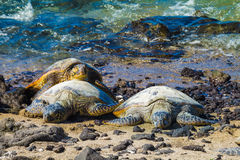 Turtles on volcanic beach Stock Photo