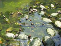 Turtles in a water Stock Photo