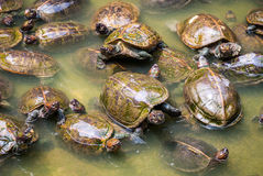 Turtles in water Stock Image