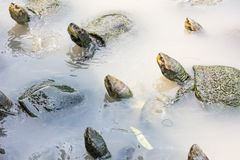 Turtles in the water Stock Photos