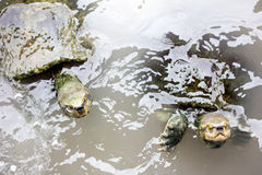 Turtles in the water Stock Photography