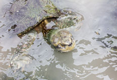 Turtles in the water Royalty Free Stock Photos