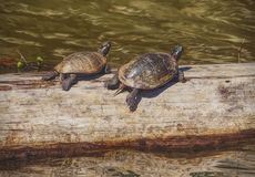 Turtles at the wetlands royalty free stock photo