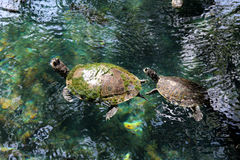 Turtles in wild life Stock Photography