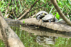 Turtles in the Yacuma river royalty free stock images