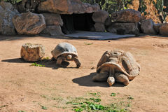 Turtles at zoo. Two large turtles at the zoo Royalty Free Stock Photography