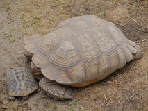Turtles in the zoo. Big brown turtle with little turtle Royalty Free Stock Photography