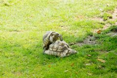 Two forest turtles having sex in a zoo stock images