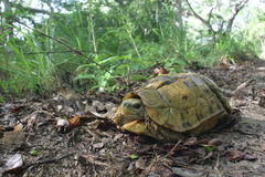 Turtoise articulado Fotos de Stock
