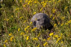 Turtoise walking away. Turtoise in natural habitat of fynbos walking away, South Africa Royalty Free Stock Photo