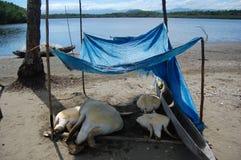 Turtules under tent Papua New Guinea Stock Images