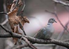 Turturduva på en trädfrossa i förkylning Fotografering för Bildbyråer