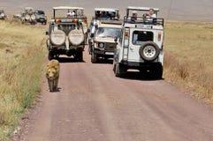 turyści w samochodowym patrzejący lwa Obraz Royalty Free