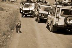 turyści w samochodowym patrzejący lwa Zdjęcia Stock