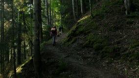 Turyści z plecakami wspinają się lasowego ślad przy świtem w ranku w lecie, pukhodniki spacer przez zbiory wideo