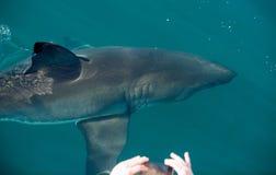 Turysta Bierze obrazek Wielki biały rekin Fotografia Royalty Free