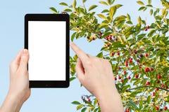 Turysta fotografuje gałązki z dojrzałą czerwoną wiśnią zdjęcie stock
