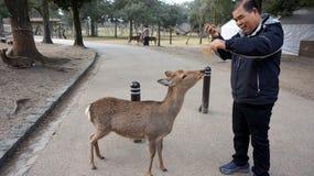 Turysta greeted rogaczem od niedalekiego Nara parka na podejściu Todaiji Obraz Stock