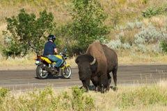 Turysta, podróż, bizon, natura, żubr zdjęcie stock