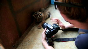 Turystyczna dziewczyna bierze obrazek dziecko tygrys, Bangkok, Thailand zbiory wideo