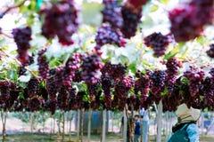 Turystyczna podróż widzieć purpurowi winogrona jest organicznie owoc w winnicy wi?zka dojrza?y winogrono przy natura ogr?dem świe obraz royalty free