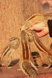 Turystyczne żywieniowe Indiańskie palmowe wiewiórki w Agra forcie, Uttar Prades Obraz Stock