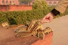 Turystyczne żywieniowe Indiańskie palmowe wiewiórki w Agra forcie, Uttar Prades Zdjęcie Stock