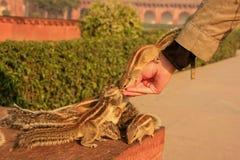 Turystyczne żywieniowe Indiańskie palmowe wiewiórki w Agra forcie, Uttar Prades Zdjęcia Royalty Free