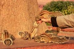 Turystyczne żywieniowe Indiańskie palmowe wiewiórki w Agra forcie, Uttar Prades Obraz Royalty Free