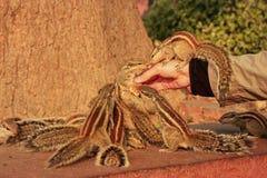 Turystyczne żywieniowe Indiańskie palmowe wiewiórki w Agra forcie, Uttar Prades Obrazy Royalty Free