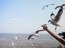 Turystyczni żywieniowi seagulls przy Bangpoo plażą, SAMUTPRAKARN, THA fotografia stock
