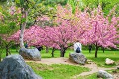 Turystyczny odpoczywać na skale i podziwiać Japońskich czereśniowego okwitnięcia drzewa w Bucharest królewiątku Michael Parkuję p obrazy stock