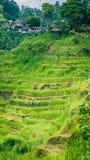 Turystyczny odprowadzenie wzdłuż zadziwiającego tegalalang ryż tarasu spada kaskadą pola z pięknymi kokosowymi drzewkami palmowym obrazy royalty free